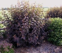 Full Size Picture Of Purple Ninebark Monlo Physocarpus
