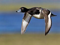 Tufted duck - Aythya fuligula | Flickr - Photo Sharing!