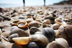 Shells on the shore of Satellite Beach, Florida.