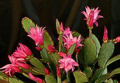 Parente da flor-de-maio, a flor-de-outubro é um cacto. Não precisa de mais do que uma rega por semana  Evelyn Müller  / Casa e Jardim