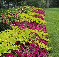 Wave Petunia and sweet potato vine, great color contrast!