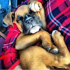 How precious us Boxer baby!