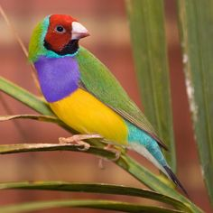 The Gouldian Finch, Erythrura gouldiae, also known as the Lady Gouldian Finch, Gould's Finch or the Rainbow Finch, is a colorful passerine bird endemic to Australia. Tropical Birds, Exotic Birds, Colorful Birds, Beautiful Creatures, Animals Beautiful, Cute Animals, Most Beautiful Birds, Pretty Birds, Funny Bird