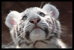 White Tiger Cub Photos White Tiger Cub by Green-Fly Media