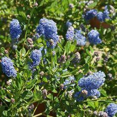 Erica carnea nombre popular tipolog a arbusto de hoja for Arbustos de hoja perenne resistentes al frio