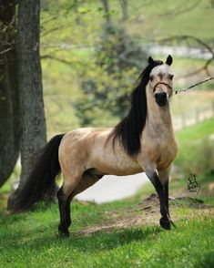 "AMHA and AMHR Registered 32.5"" Buckskin Stallion"