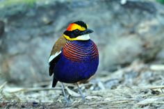 daily-animals:    fairy-wren:    banded pitta  (photo by superhide)    You have to follow this blog, it's amazing