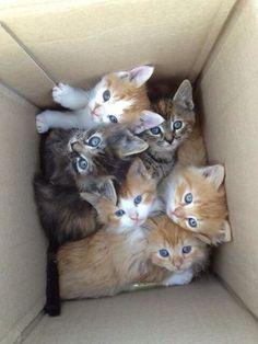 Box of blue eyed kittens