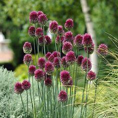 Allium sphaerocephalon Bicolor (Kugellauch) - 25 Stück kaufen ...