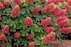 Serenity in the Garden: Ruby Slippers Oakleaf Hydrangea - A Great Native Plant!