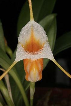Masdevallia aurea - Flickr - Photo Sharing!
