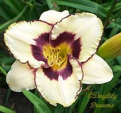 Daylily-Awakening Dream this is one of the prettiest lilies i have ever seen!