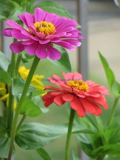 Zinnias, easy to grow and gorgeous!