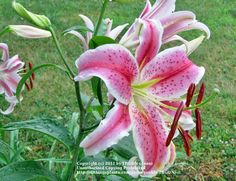Oriental Lily 'Journey's End'