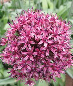 Allium, Aschersonianum,