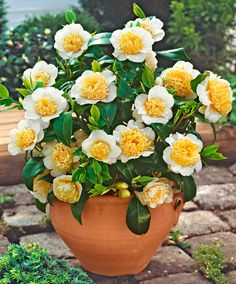 Camelia 'Brushfield's Yellow' Outdoor Garden Lighting, Outdoor Plants, Outdoor Gardens, Garden Shrubs, Garden Pots, Flower Planters, Flower Pots, Camelia Tree, Rose Trees