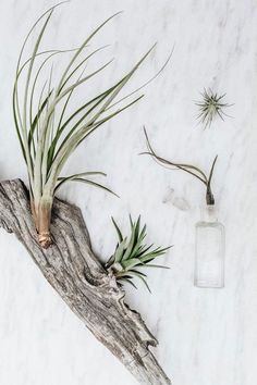 Commonly known as air plants, they are found from jungle and rain forest to arid desert environments. These hearty, low maintenance plants use their root systems to attach themselves to trees or rocks and absorb moisture and nutrients through their leaves. Loose tillandsias are perfect for DIY projects, corks, seashell