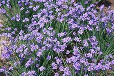 blue-eyed grass (CA & Med mix - sun; courtyard A/B)