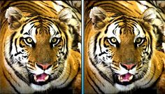 Can you find five differences between the two tiger images?
