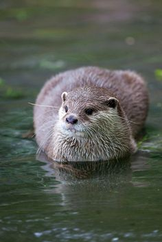 Otter loaf, like a cat loaf. Cat owners know what I mean :) Otters Cute, Baby Otters, Baby Sloth, Animals And Pets, Baby Animals, Cute Animals, Strange Animals, Wild Animals, River Otter
