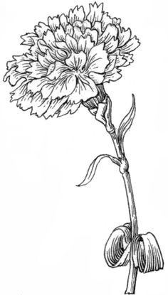 black and white carnations drawing image