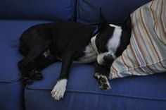 Boston Terrier (boston terrier,dog,cute)