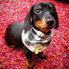 Finding Neverland #dachshund
