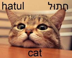 Cat in Hebrew = hatul