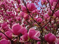 MAGNOLIA FLOWER digital download photography by Turtlesandpeace