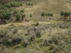 Acabo de compartir la foto de Rixser Ramirez Peña que representa a: Plantaciones de Pino - Huancabamba