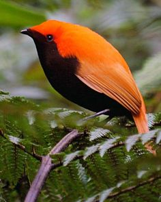 Crested Satinbird (Cnemophilus macgregori). It had been formerly known as the Crested Bird-of-paradise but after extensive genetic research it was determined that this bird is not even related to the rest of the birds-of-paradise.