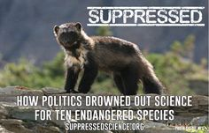 "Suppressed Science: How Politics Drowned out Science for Ten Endangered Species"" highlights ten imperiled fish, plant and wildlife conservation decisions over the last decade in which the science was either ignored or suppressed as a result of intense special interest lobbying and influence. Endangered Plants, Endangered Species, Black Bear, Brown Bear, Rare Species, Create Awareness, Wildlife Conservation, Some Pictures, Habitats"