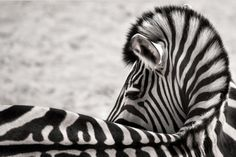 White vortex, Zebra, by Wolf Ademeit