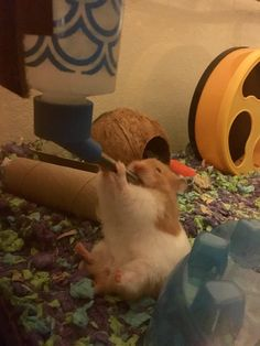 This sub is dedicated to hamsters and their humans. Hamster Pics, Baby Hamster, Hamster Care, Hamster Stuff, Cute Animal Memes, Cute Animal Pictures, Cute Funny Animals, Funny Hamsters, Syrian Hamster