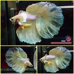 Big-Body-1-5-034-Live-Betta-Fish-Male-Yellow-Cream-Dumbo-Big-Ears-Halfmoon-1460