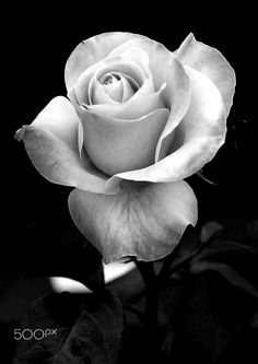 Thinking of trying out some black and grey work starting with some roses Will do some for (which is minimum charge) each while I get started 👀 Black And White Roses, Grey Roses, Rose Flower Tattoos, Flower Tattoo Designs, Rose Reference, Realistic Rose, Rose Photography, Flower Wallpaper, Beautiful Roses