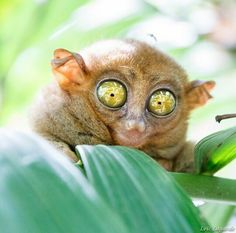 The Philippine tarsier, is a species of tarsier endemic to the Philippines. It…