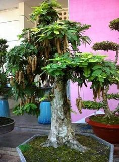 Bonsai Art, Bonsai Plants, Garden Art, Garden Plants, Tamarindus Indica, Bonsai Tree Types, Bonsai Styles, Colorful Plants, Clay Design