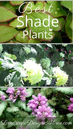 Here are some of the best shade plants. They all do well in dense shade, flower, and have beautiful foliage. All are winners for a great shade garden design.