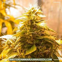 Maroc x Skunk Special seeds | Haze like plant,original maroc flavor with the strong smell of SkunkThe plant is unusually resinous ...