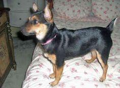 Miniature Rat Terriers - Dogs -  Pebbles
