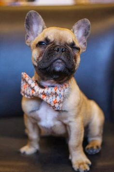 5 French Bulldog puppies you must see The Pet's Planet