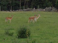 Herrklubb med tre hjortar som börjar få årets nya hornuppsättning.