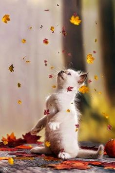 Kitten & falling leaves More