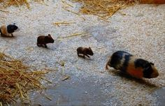 The guineas go marching one by one. Hurrah! Hurrah! makes me think of Make Way for Ducklings