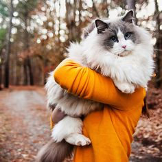 This giant kitty is not being held by a little kid! It's called a ragdoll cat, and this fluffy breed can grow to be up to 20 pounds! Don't let the size scare you though, as ragdolls are known for being gentle and docile pets.