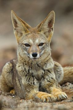 """The South American gray fox (Lycalopex griseus), also known as the Patagonian fox, the chilla or the gray zorro, is a species of Lycalopex, the """"false"""" foxes. It is endemic to the southern part of South America - via Amazing Wildlife Cute Creatures, Beautiful Creatures, Animals Beautiful, Reptiles, Mammals, Animals And Pets, Baby Animals, Cute Animals, Animal Babies"""