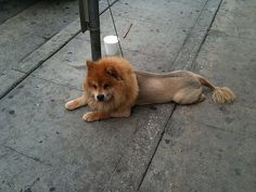 Lion haircut for a pomeranianould i get this do for toby i need this puppy spotted lion loose in hermosa beach solutioingenieria Choice Image