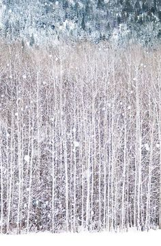 Winter Photography, Birch Trees in Snow