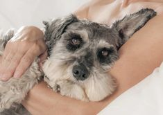 Should I Massage My Schnauzer? Plus Beginner Tips) - The Schnauzer Collective Schnauzer Cut, Miniature Schnauzer, Cute Puppies, Dogs And Puppies, Painting Old Furniture, Mountain Dogs, Bernese Mountain, Labrador Retriever Dog, Bull Terrier Dog